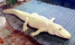 "The park is home to four extremely rare leucistic ""white"" alligators."